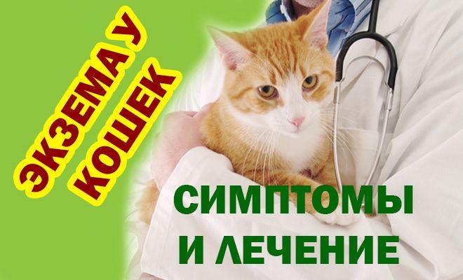 Экзема у кошек, симптомы и лечение