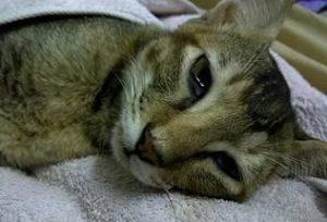 Дексаметазон для кошек. Побочные эффекты