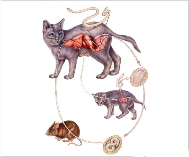 Гельминты у кошки. Пути заражения