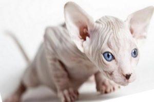 Бывает ли аллергия на лысых кошек?