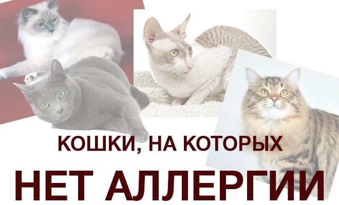 Кошки, на которых нет аллергии