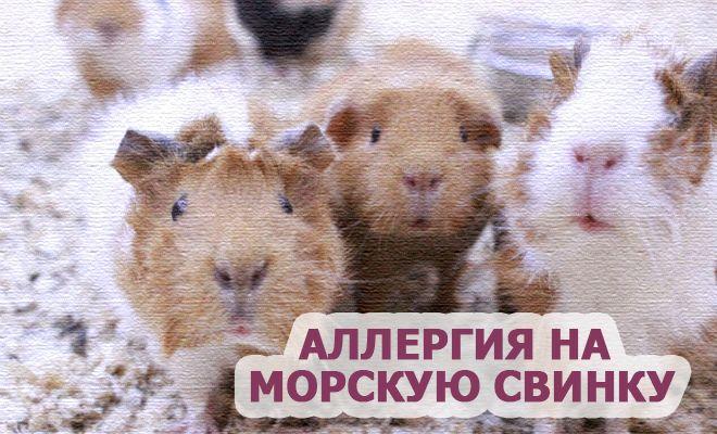 Аллергия на морскую свинку