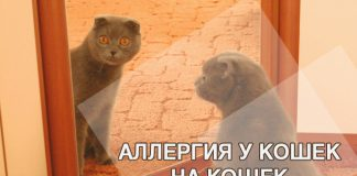 Аллергия у кошек на кошек