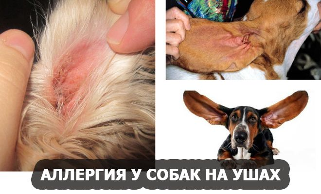 Аллергия у собак на ушах