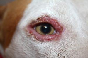 Грибковый блефарит у собак