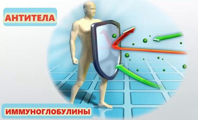 Антитела, иммуноглобулин