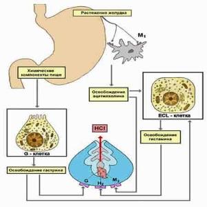 H2 рецепторы гистамина