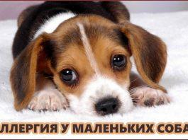 Аллергия у маленьких собак