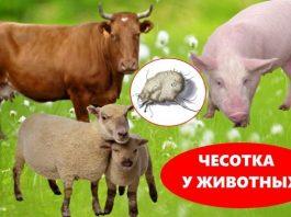 Чесотка у животных