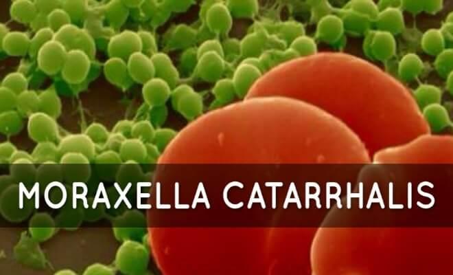 Моракселла катаралис
