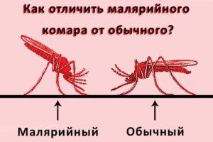 Отличие обычного комара от малярийного