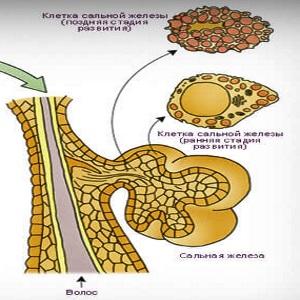 Функции сальных желез