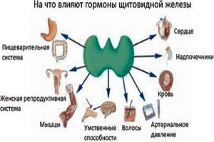 На что влияют гормоны щитовидной железы?